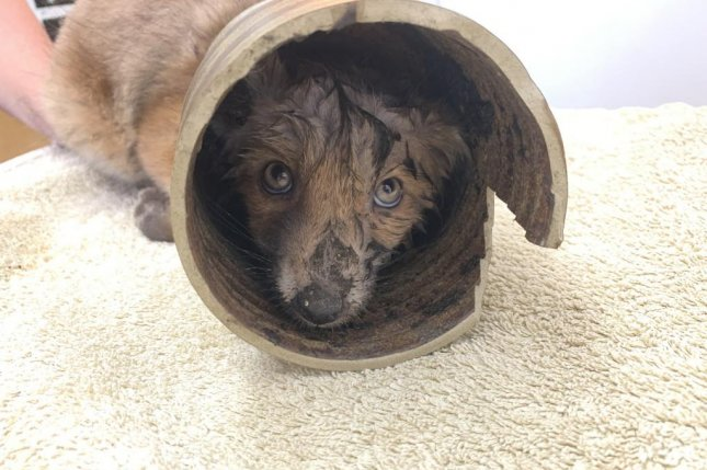 Animal rescuers in Britain were called to a resident's garden where a fox cub was found with its head stuck in a ceramic vase. Photo courtesy of the RSPCA