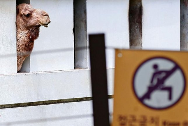 Two camels at a Seoul zoo on Thursday were isolated but released on Friday. Photo by Yonhap