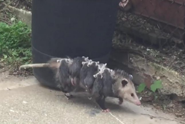 A mother opossum dubbed OctoPossum carries her eight babies on her back. Screenshot: Gene Gray/YouTube