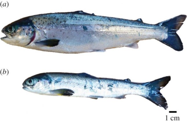 A healthy farm-raised Atlantic salmon is pictured above a growth-stunted drop out salmon. Photo by Ole Folkedal