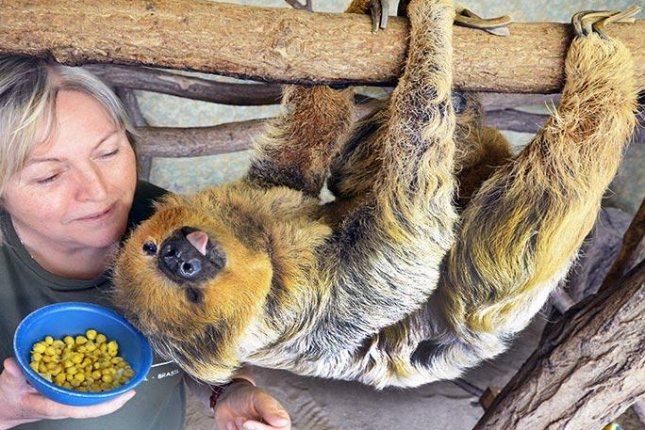 Paula, a two-toed sloth living at the Halle Zoo in Saxony-Anhalt, was officially recognized as the oldest living sloth in the world after making it to 50 years old. Photo courtesy of Guinness World Records