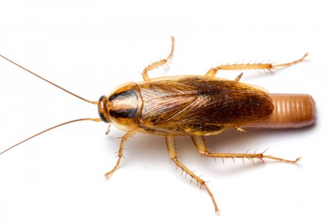 The German cockroach, Blattella germanica, is one of the most common indoor pests -- and also one of the most challenging to get rid of. Photo by Matt Bertone/NC State