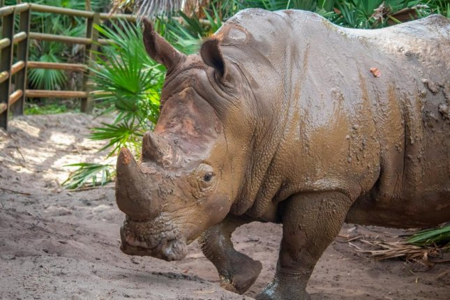 Frankie is among four rhinoceroses at Brevard Zoo in Melbourne, Fla., arriving in October. A girl fell into rhinoceros exhibit and was airlifted to an Orlando hospita. Photo courtesy of Brevard Zoo/Twitter