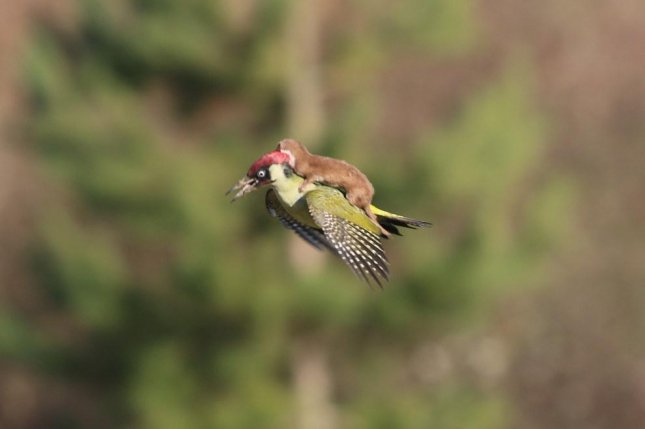 A weasel rides on the back of a woodpecker in an attempt to bring the bird down. Photo by Martin Le-May