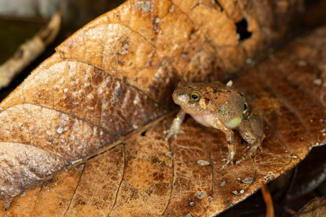 Though the coloration of the new species, Rhombophryne ellae, is unlike most other diamond frogs, its red to orange flash markings on its legs are common among hopping amphibians. Photo by Mark D. Scherz