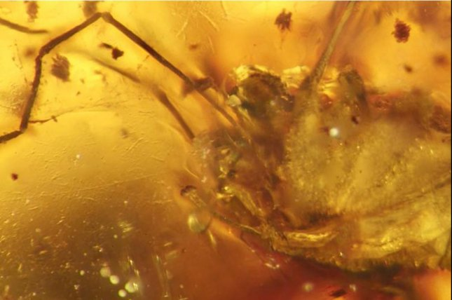 For the first time, an arachnid's genitalia was found fully extended within ancient amber. Photo by Museum für Naturkunde