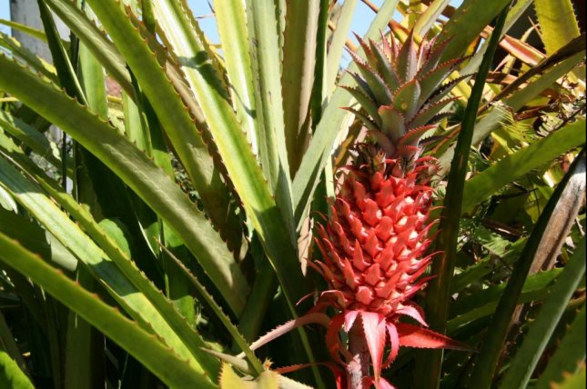Scientists compared the newly sequenced genome of the red pineapple to the genomes of other pineapple cultivars. Photo by Kevin Casper/PubliceDomainPictures.net