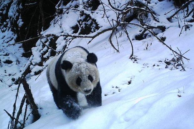 A giant panda treks through the snow. Photo courtesy Michigan State University