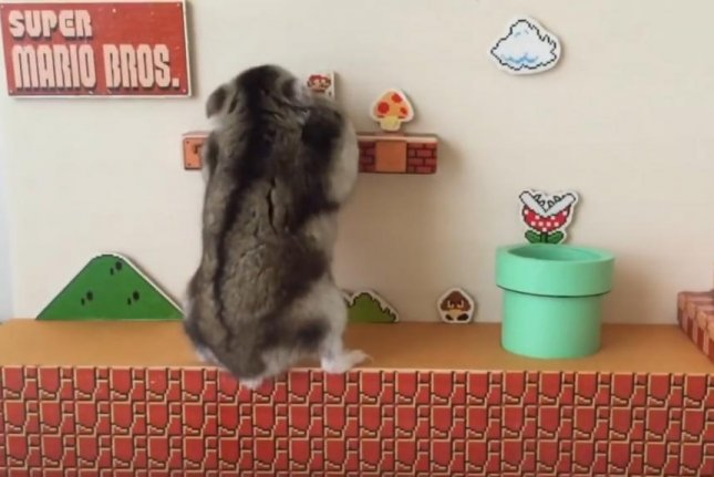 A hamster showed off it's platforming skills by completing a real life replica of the first stage from the original Super Mario Bros. game. The replica included enemies, pipes and even a Mario hat for the hamster. Screen capture/yutak055/YouTube