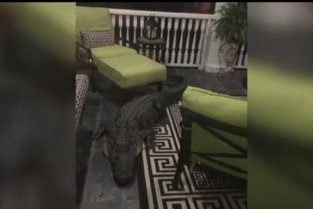 Animal controller in stand-off on porch with gatecrashing alligator