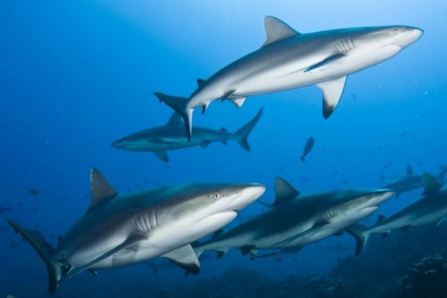 Even relatively healthy shark populations, including gray reef sharks, can be quickly harmed by illegal fishing. Photo by UCSB