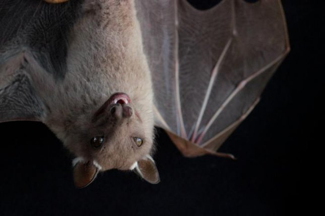 New research suggests birds and bats, including species like the Kenyan fruit bat, Epomophorus wahlbergi, don't rely on their gut microbiome the same way humans and other mammals do. Photo by Holly Lutz/Field Museum