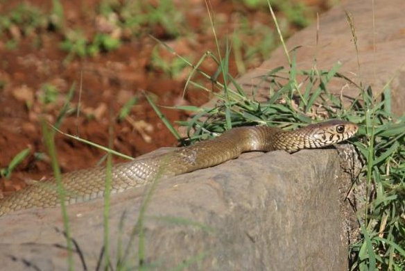 An Australian newspaper said its office was visited by a venomous snake for the second time in a month. Photo by PDPics/Pixabay.com