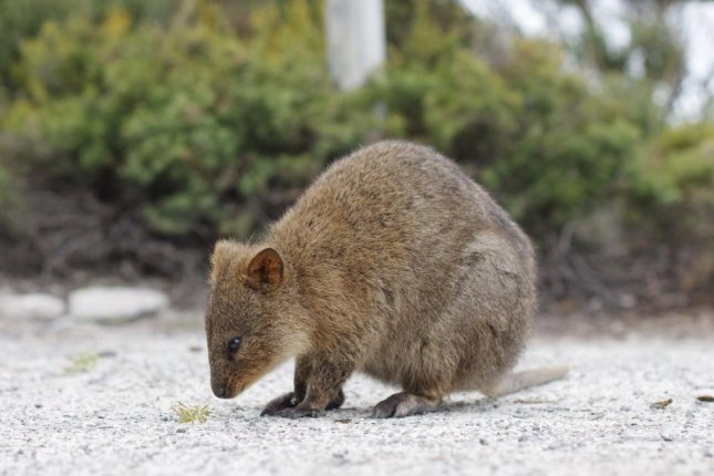 Quokka numbers are greatest on Western Australia's Rottnest Island, but hundreds die every year of starvation when drought leads to declines in available vegetation. Photo by Wikimedia Commons