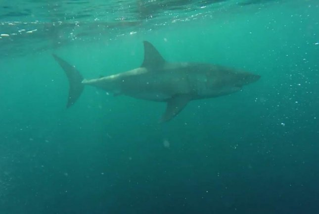 This shark in waters off Perth, Australia, caused a planned dive to be canceled when it was spotted swimming underneath the boat. Screenshot: Storyful