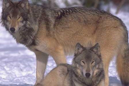 Colorado voters will decide this year whether to reintroduce gray wolves into the state's western slope. Photo courtesy of U.S. Fish and Wildlife Service