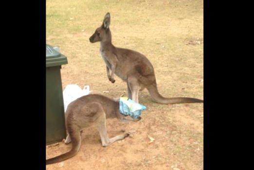 A kangaroo gets its head stuck in a popcorn bag in Australia. Screenshot: Glenn Turner/YouTube