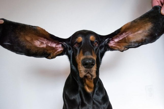 A black-and-tan coonhound named Lou was awarded a Guinness World Record after each of her ears were measured at 12.38 inches long. Photo courtesy of Guinness World Records
