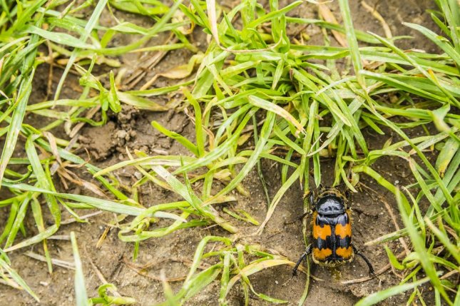 Sexual conflict between male and female burying beetles leads to evolving genital shapes. Photo by gubernat/Shutterstock
