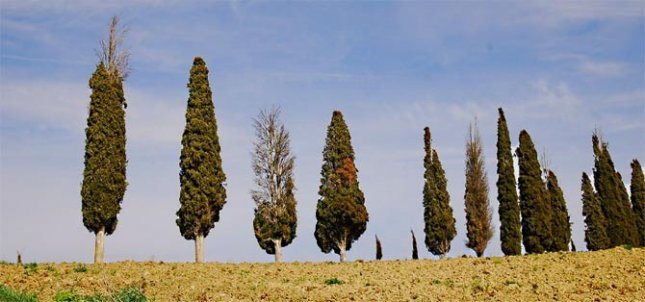 Italian cypress trees in Italy's Tuscany region show symptoms of cypress canker disease. Credit: Robert Danti, Italian National Research Council.