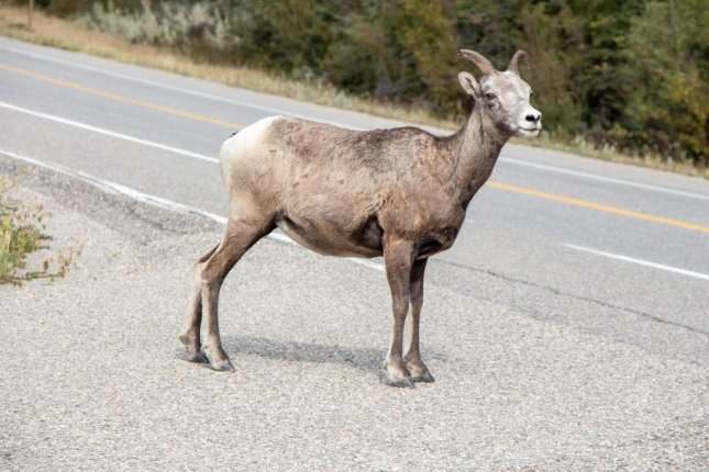 Pennsylvania State Police are trying to locate a goat that has repeatedly been reported wandering into traffic on a busy highway in recent days. Photo bydennisflarsen/Pixabay.com