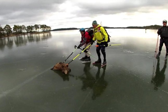 Ice skaters on Lake Baven, south of Stockholm, use poles to push stranded wild boars from the ice to land. JukinMedia video screenshot