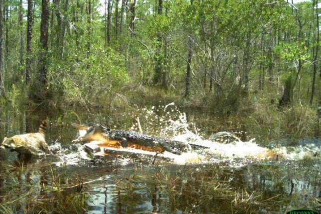 An alligator chases a racoon from a South Florida swamp. Photo by Florida Fish and Wildlife Conservation Commission