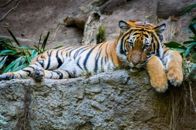 A Malaysian tiger in Omaha bit the left hand of a woman who snuck into a zoo late at night and attempted to pet him. File photo by Tom/Flickr