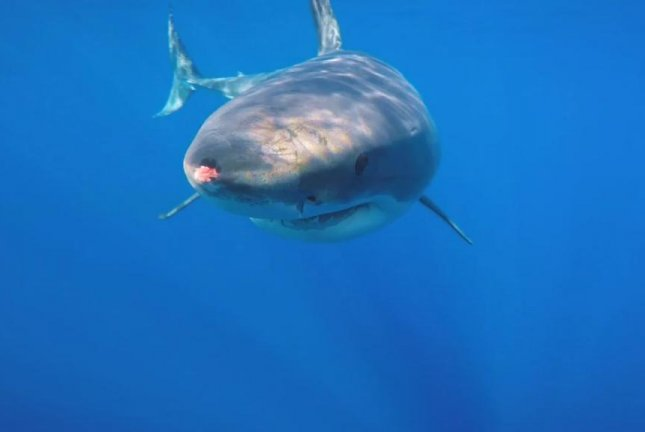 A great white shark swims toward a diver, who uses his camera to guide it away. Screenshot: Newsflare