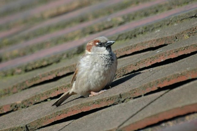 The highly successful house sparrow is found all over the world, but it's numbers are declining in London and other European cities. Photo by ZSL/BTO