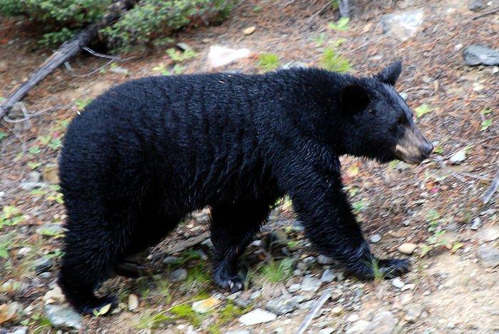 American black bear. Credit: HBarrison, Wikipedia, Creative Commons