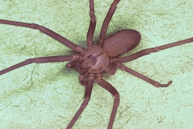 A brown recluse spider. (Centers for Disease Control and Prevention)