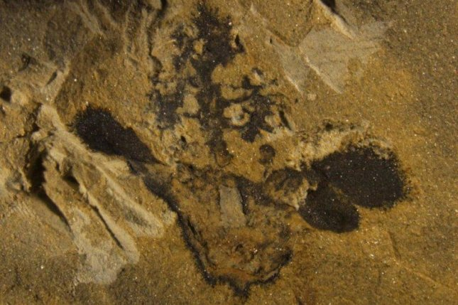 Scientists found a fossilized flower dating to 174 million years ago. Photo by Fu et al./eLife