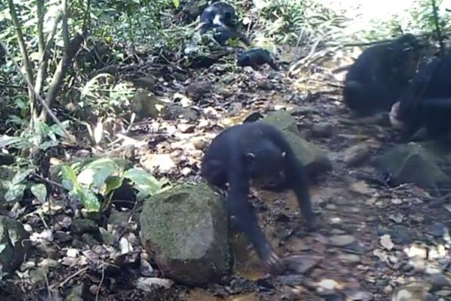 Scientists observed chimpanzees in the rainforest of Guinea fishing for freshwater crabs year-round. Photo by Kyoto University