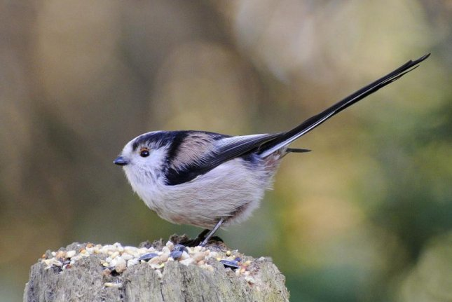Researchers used mathematical models similar to those developed by Alan Turing to better understand the segregation patterns of long-tailed tits. Photo by Wikimedia Commons