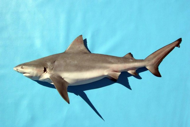 New research shows bull sharks leave behind a unique set of marks on human remains when they're scavenging. Photo Courtesy George Burgess/Florida Museum of Natural History