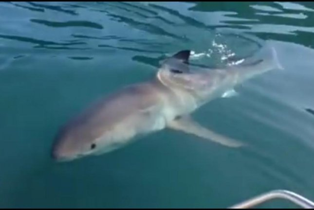Fisherman touches curious great white shark in New Zealand