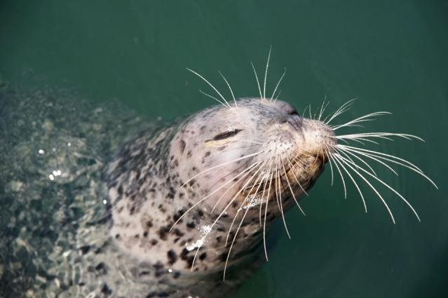 Whiskers are key to a seal's hunting ability. Photo by MIT
