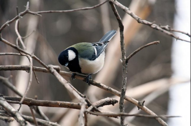 Japanese great tits use different call combinations to communicate different meanings. Photo by UZH