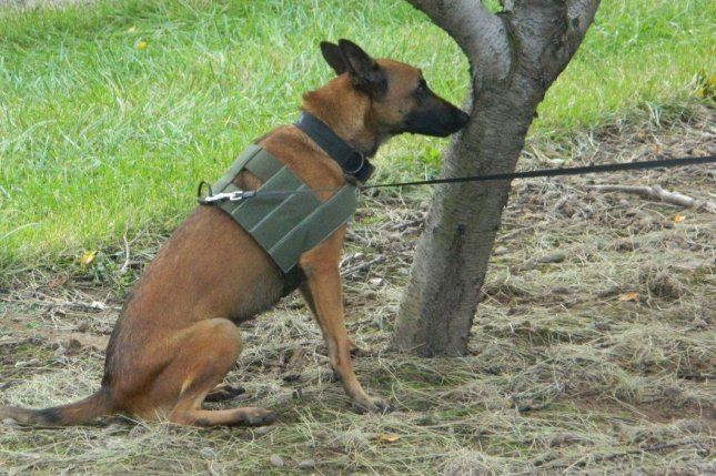 A German shepherd detection dog finds an orange tree that is infected with citrus greening disease. Photo courtesy of F1K9/U.S. Department of Agriculture