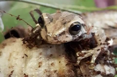 A frog took a 5,000 mile journey from Colombia to Wales by stowing away in a shipment of bananas. Photo courtesy of RSPCA Cymru