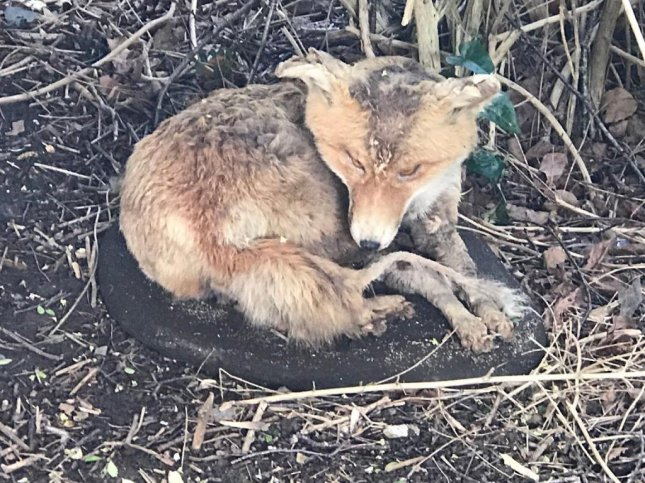 An apparent collapsed fox that prompted a call to animal rescuers in Britain turned out to be a piece of taxidermy. Photo courtesy of the RSPCA