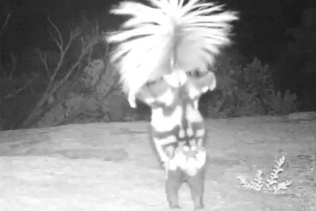A spotted skunk performs a handstand to intimidate a wildlife camera at Saguaro National Park. @usinterior/Instagram video screenshot