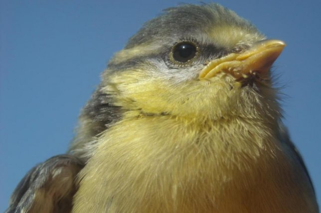 Female blue tits were inspired to song by the presence of a bird of prey. Photo by Katharina Mahr/Vetmeduni Vienna