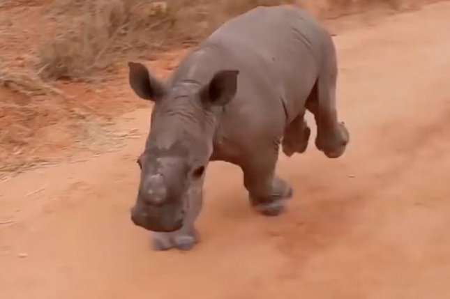 Staff at Working With Rhinos in South Africa shared footage of an intelligent baby rhino who responds to the call of his own name. The baby rhino, named Warren, can be seen sprinting off into the distance down a dirt road before quickly turning back toward his group after hearing his name called.  Screen capture/Working With Rhinos/YouTube