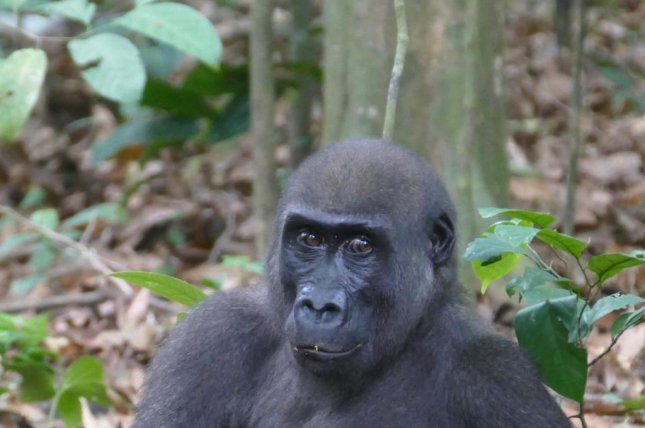 Researchers observed western lowland gorillas in Loango National Park, in Gabon, a country in West Africa, using their strong jaw and crested teeth to crack open and eat nuts. Photo by Martha Robbins/MPG