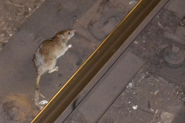 Hungry rats may exhibit unusual or aggressive behavior as they venture out to look for food after the pandemic-era shut-down of U.S. restaurants, the U.S. Centers for Disease Control and Prevention said Thursday. Photo bym01229/Wikimedia