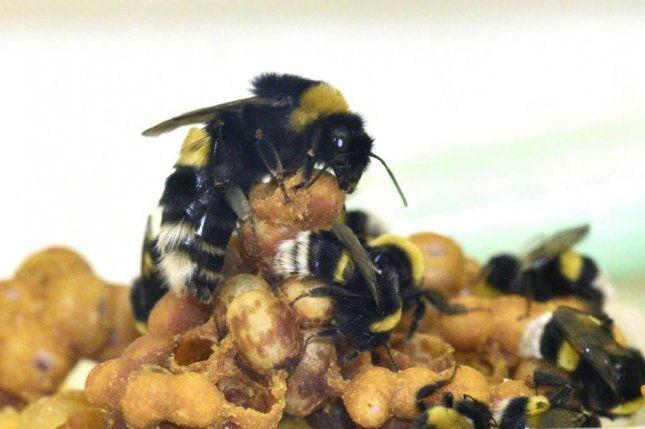 A bumble bee queen and her workers are pictured caring for their brood. Photo by Rachel Rosen/Cell Press