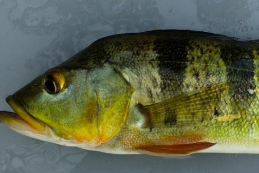 The peacock bass has decimated native species in Panama's Gatun Lake. Photo by Smithsonian Tropical Research Institute