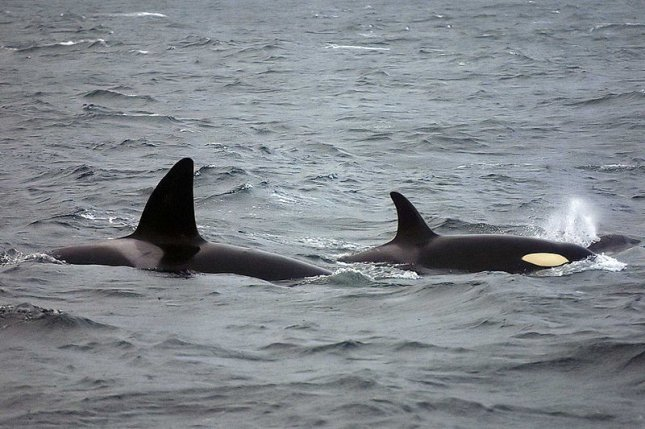 Two killer whales in Norway, via Wikimedia Commons.